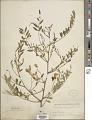 View Sesbania longifolia DC. digital asset number 1