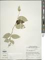 View Solanum schlechtendalianum Walp. digital asset number 1