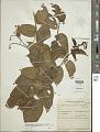 View Cyphomandra corymbiflora subsp. mortoniana (L.B. Sm. & Downs) Bohs digital asset number 1