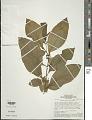 View Solanum leucocarpon Dunal digital asset number 1