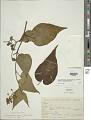View Cyphomandra corymbiflora subsp. corymbiflora digital asset number 1