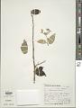 View Solanum paniculatum digital asset number 1