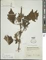 View Solanum (Leptostemonum) sp. digital asset number 1
