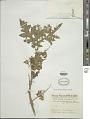 View Solanum sisymbriifolium Lam. digital asset number 1