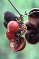 View Paullinia leiocarpa Griseb. digital asset number 0
