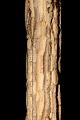 View Verbesina crocata (Cav.) Less. digital asset number 4