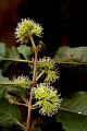 View Pisonia aculeata L. digital asset number 3