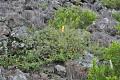 View Melanthera venosa (Sherff) W.L. Wagner & H. Rob. digital asset number 0