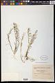 View Thesium pyrenaicum Pourr. digital asset number 1