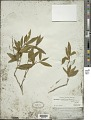 View Brunfelsia brasiliensis (C.K. Spreng.) L.B. Sm. & Downs digital asset number 1