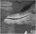 View Berardius bairdii Stejneger, 1883 digital asset number 9