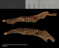 View Perognathus longimembris longimembris digital asset number 2