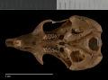 View Perognathus longimembris longimembris digital asset number 6