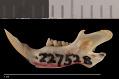 View Perognathus amplus pergracilis Goldman, 1932 digital asset number 3