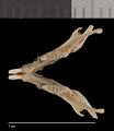 View Perognathus flavescens apache digital asset number 2