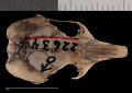 View Perognathus flavescens apache digital asset number 6