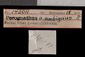 View Chaetodipus arenarius ambiguus digital asset number 0