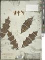 View Acanthus ilicifolius L. digital asset number 1