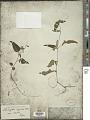 View Lepidagathis incurva Buch.-Ham. ex D. Don digital asset number 1