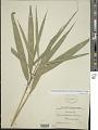 View Pseudosasa hindsii (Munro) S.L. Chen & G.Y. Sheng ex T.G. Liang digital asset number 1