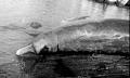 View Berardius bairdii Stejneger, 1883 digital asset number 1