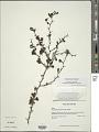 View Rochefortia acanthophora (DC.) Griseb. digital asset number 1