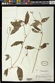 View Streptocarpus glandulissimus digital asset number 1