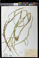 View Glyceria fluitans (L.) R. Br. digital asset number 1