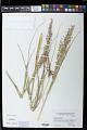 View Panicum amarum Elliott digital asset number 1