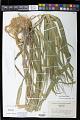View Panicum capillare L. digital asset number 1