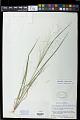 View Panicum flexile (Gatt.) Scribn. digital asset number 1