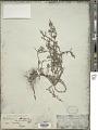 View Heliotropium strigosum Willd. digital asset number 1