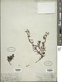 View Heliotropium curassavicum L. digital asset number 1