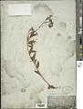 View Heliotropium lanceolatum Ruiz & Pav. digital asset number 1