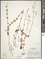 View Siphanthera paludosa (DC.) Cogn. digital asset number 1