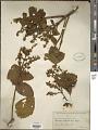 View Leandra polystachya (Naudin) Cogn. digital asset number 1