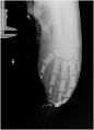 View Mesoplodon mirus True, 1913 digital asset number 11