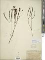 View Microlicia crenulata (DC.) Mart. digital asset number 1