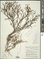 View Cambessedesia fasciculata (Spreng.) Fidanza & A.B. Martins digital asset number 1