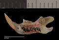 View Chaetodipus eremicus eremicus digital asset number 3