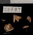 View Perognathus flavus bimaculatus digital asset number 2
