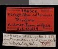 View Chaetodipus californicus californicus digital asset number 0