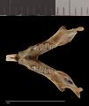 View Chaetodipus californicus californicus digital asset number 2