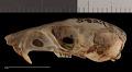View Chaetodipus californicus californicus digital asset number 8