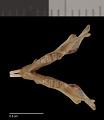 View Chaetodipus fallax inopinus digital asset number 2