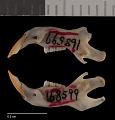 View Perognathus fasciatus fasciatus digital asset number 3