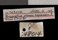 View Perognathus flavus hopiensis Goldman, 1932 digital asset number 0