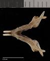 View Perognathus flavus hopiensis Goldman, 1932 digital asset number 2