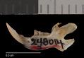 View Perognathus flavus hopiensis Goldman, 1932 digital asset number 3