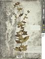 View Tibouchina herbacea (DC.) Cogn. digital asset number 1